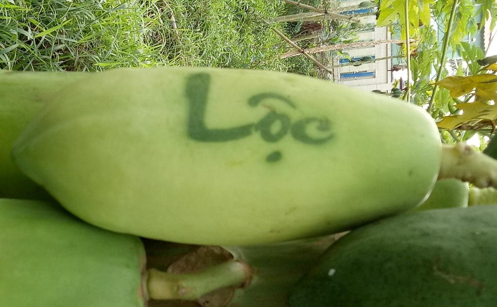 In chữ thư pháp trên đu đủ phục vụ Tết, nông dân thu lãi cao
