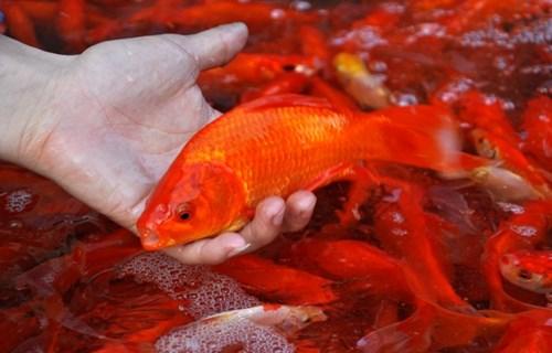Văn hoá - Cúng ông Công ông Táo nên mua và thả cá chép thế nào để có lộc?