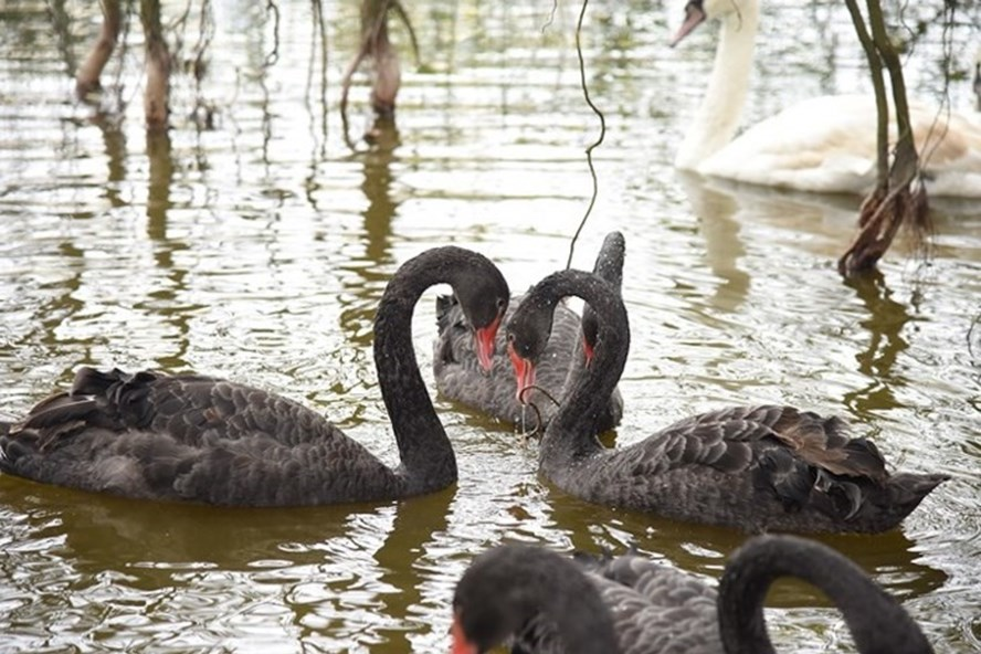 Thư không gửi - Chuyện nghe từ bầy thiên nga ở hồ Thiền Quang