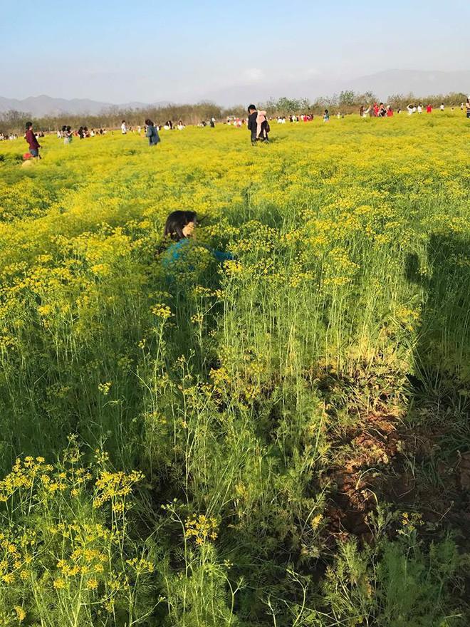 Cộng đồng mạng - Phẫn nộ vì khách tham quan thiếu ý thức, giẫm nát cánh đồng hoa (Hình 2).