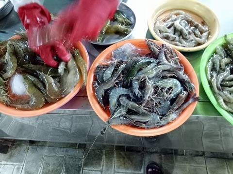Chính trị - Xã hội - Đà Nẵng: Hãi hùng phát hiện tôm sú 'nhồi' tạp chất