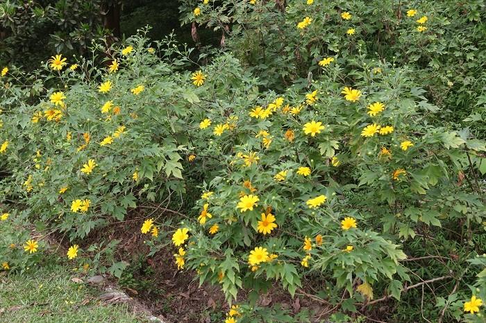 Văn hoá - Đẹp nao lòng rừng hoa dã quỳ dưới chân núi Tản (Hình 2).
