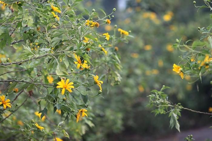 Văn hoá - Đẹp nao lòng rừng hoa dã quỳ dưới chân núi Tản (Hình 7).