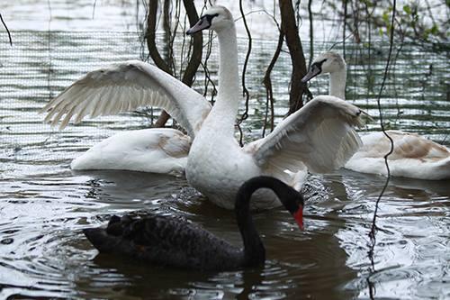 Bạn đọc viết - Thiên nga đen bơi ở Hồ Gươm: Xin đừng thay thế 'cụ rùa' bằng thiên nga (Hình 2).