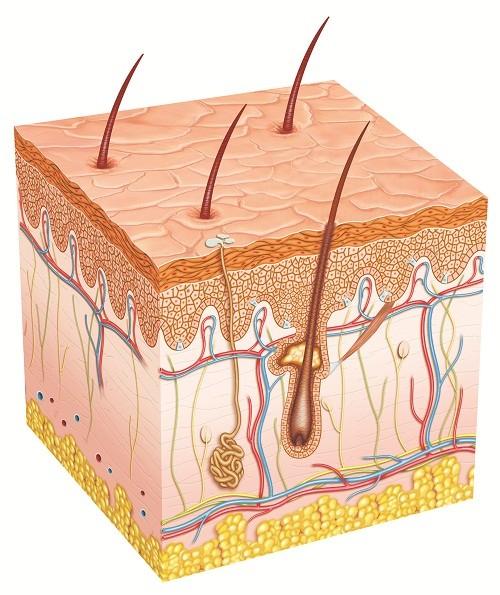 Sức khỏe - Thuốc triệt lông, có triệt lông vĩnh viễn?