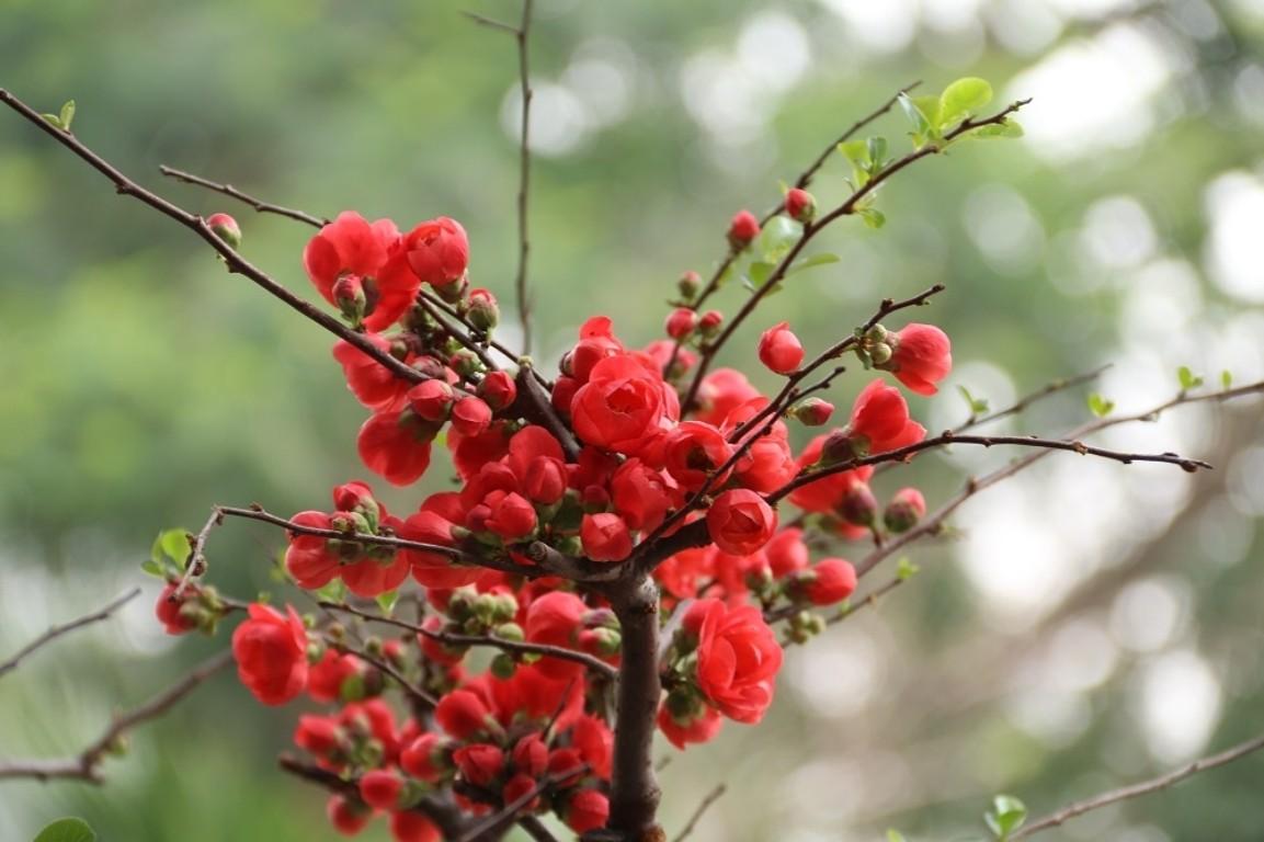 """Hoa mai đỏ bạc triệu """"đốn tim"""" người Hà Nội - Hình 3"""