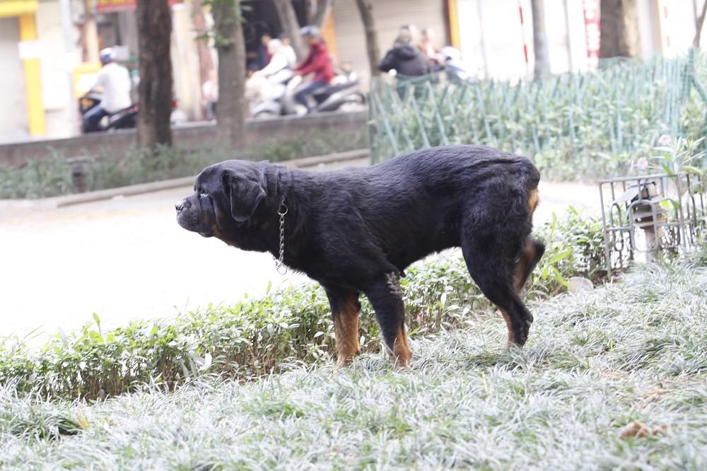 Hà Nội: Chó vẫn thả rông, không rọ mõm khắp công viên, đường phố - Hình 2