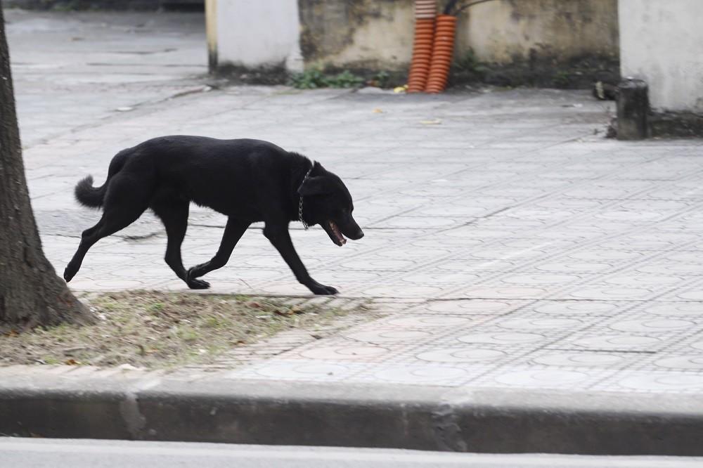 Hà Nội: Chó vẫn thả rông, không rọ mõm khắp công viên, đường phố - Hình 9
