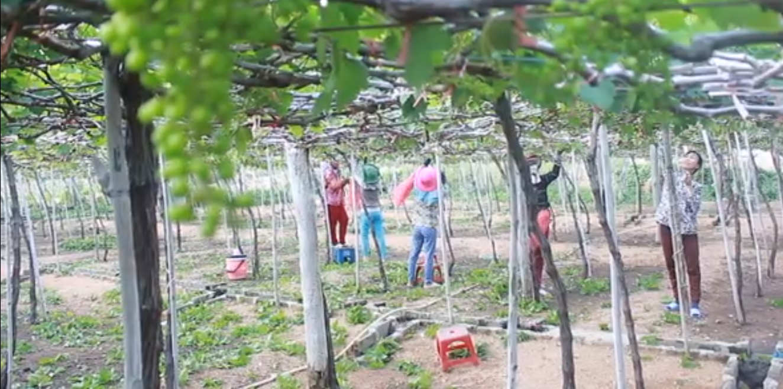 Tin nhanh - Ninh Thuận: Khỉ xuống núi phá hoa màu, tấn công phụ nữ, trẻ em (Hình 3).