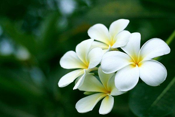 Thuốc & TPCN - Những tác dụng chữa bệnh tuyệt vời của cây đại