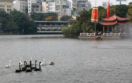 Xi nhan Trái Phải - Hà Nội thả thiên nga ở Hồ Gươm: Hãy thấy may vì đó là thiên nga