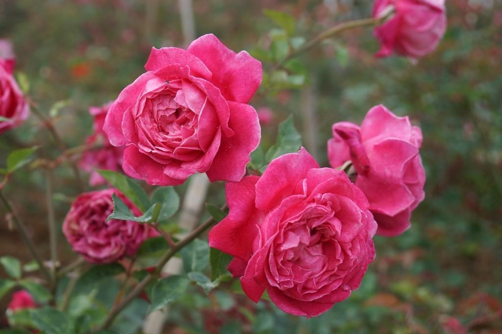 Tiêu dùng & Dư luận - Ngất ngây sắc hồng cổ chân núi Fansipan (Hình 3).