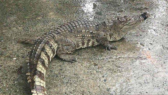 Tin nhanh - Đà Nẵng: Hoảng hồn khi cá sấu xuất hiện giữa khu chợ