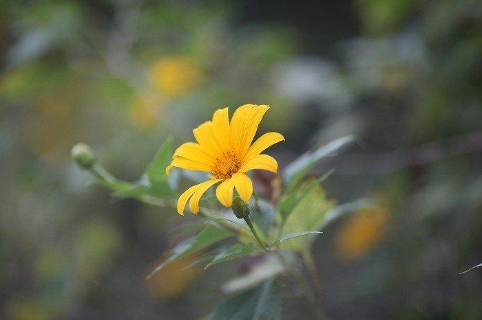 Văn hoá - Đẹp nao lòng rừng hoa dã quỳ dưới chân núi Tản (Hình 5).