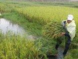 Chính trị - Xã hội - Hà Tĩnh: Bão số 10 áp sát, quân - dân hối hả gặt lúa xanh về nhà