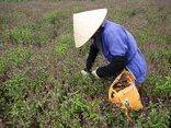 Mới- nóng - Clip : Kiếm cả trăm triệu đồng mỗi năm từ tinh dầu rau Húng Quế