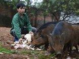Mới- nóng - Clip: Nuôi và huấn luyện lợn rừng bằng còi xe máy ở Hà Nội