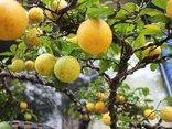 Mới- nóng - Clip: Chanh vàng tứ quý gây sốt thị trường cây cảnh tết 2018