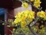Mới- nóng - [Chùm ảnh] Đào rừng Tây Bắc, mai vàng Bình Định hòa cùng sắc xuân Thủ Đô