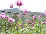An ninh - Hình sự - Phát hiện 3 điểm trồng cây thuốc phiện cùng nhiều tang vật