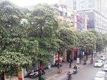 """Tư vấn - Hà Nội: Điểm mặt tuyến đường, phố """"ác mộng"""" với người dị ứng mùi hoa sữa"""