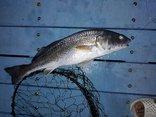 Mới- nóng - Clip: 6 con cá lạ câu được trên vịnh Cam Ranh nghi là cá sủ vàng