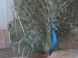 Đời sống - Tỷ phú từ nghề nuôi chim khổng tước trên đất Tây Nguyên