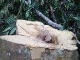 Điểm nóng - Thanh Hóa: Đã xác định được đối tượng phá rừng ở Xuân Chinh