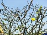 Xã hội - Cận cảnh cây mai 100 tuổi giá hàng tỷ đồng ở chợ hoa xuân Đà Nẵng