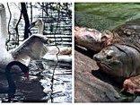Bạn đọc viết - Thiên nga đen bơi ở Hồ Gươm: Xin đừng thay thế 'cụ rùa' bằng thiên nga