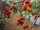 Tiêu dùng & Dư luận - Lâm Đồng: Nhiễm virus lạ khiến cà chua chết hàng loạt, người dân điêu đứng