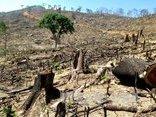 Chính trị - Xã hội - Bình Định: Phát hiện thêm khoảng 20 ha rừng bị tàn phá để trồng keo lai