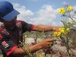 Tiêu dùng & Dư luận - TP.HCM: Mai vàng nở sớm, đào Nhật Tân, tắc kiểng gây 'sốt'