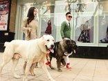 Xã hội - Đôi vợ chồng 8X sở hữu 30 chú chó khủng bậc nhất tại Việt Nam