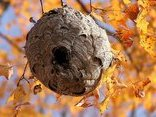 Sức khỏe - Bác sĩ hướng dẫn cách xử lý ngay tại nhà khi bị ong đốt