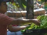Tiêu dùng & Dư luận - Chuối tăng giá 'chóng mặt', nông dân phấn khởi sau 2 năm thua lỗ