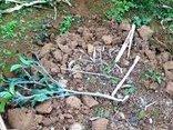 Xã hội - Nông dân mất Tết khóc ròng bởi 500 gốc cam Cao Phong bị chặt