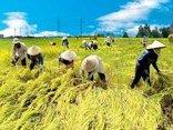 Điểm nóng - Biến đối khí hậu làm giảm năng suất lúa hè thu ở Việt Nam