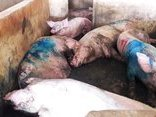 Chính trị - Xã hội - Hà Tĩnh: 10 con lợn bị lở mồm long móng được tuồn vào lò mổ