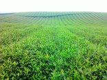 Kết nối- Chính sách - Thu hồi hơn 655 ha đất của doanh nghiệp trồng chè cho địa phương