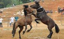 Mới- nóng - Chùm ảnh : Ngựa đấu thất truyền hồi sinh ở Tuyên Quang