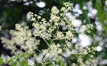 Văn hoá - Mùa về, nghe hương hoa dâu da xoan