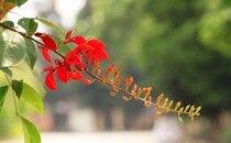 Môi trường - Hà Nội đẹp ngỡ ngàng khi hoa osaka thắp lửa gọi hè về