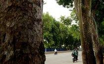 Mới- nóng - Clip: Cận cảnh hàng cây trên đường Phạm Văn Đồng trước ngày bị chặt hạ