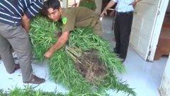 An ninh - Hình sự - Phát hiện số lượng lớn cần sa được trồng ở vườn, có rào che chắn