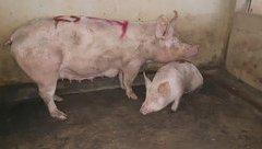Môi trường - Hà Tĩnh: Điều tra nguyên nhân phát dịch lở mồm long móng tại lò mổ