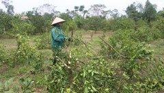 Đầu tư - Hà Tĩnh: Dân xót đắng chặt bỏ cả nghìn gốc cam lâu năm