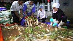 Mới- nóng - Clip: Được 'giải cứu', người dân háo hức xuyên đêm thu hoạch củ cải