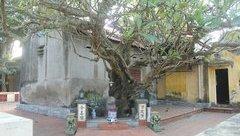 Văn hoá - Những chuyện kỳ thú quanh cây di sản hơn 400 tuổi ở Hải Phòng