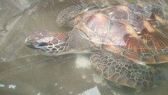 Mới- nóng - Clip: Nhà chùa giải cứu rùa biển khỏi bị ngư dân xẻ thịt
